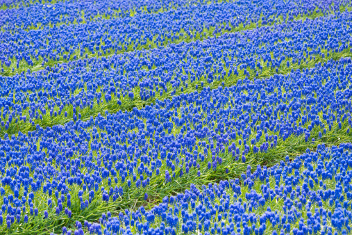 Keukenhof Gardens「A field of blue common grape hyacinths」:スマホ壁紙(11)