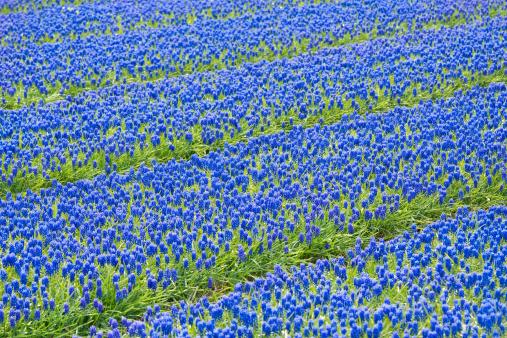 Keukenhof Gardens「A field of blue common grape hyacinths」:スマホ壁紙(12)