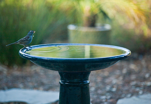 Bird「Lone White-crowned sparrow takes a drink during a drought, while perched on the edge of a birdbath at dusk - Ojai, California—part of a series」:スマホ壁紙(4)