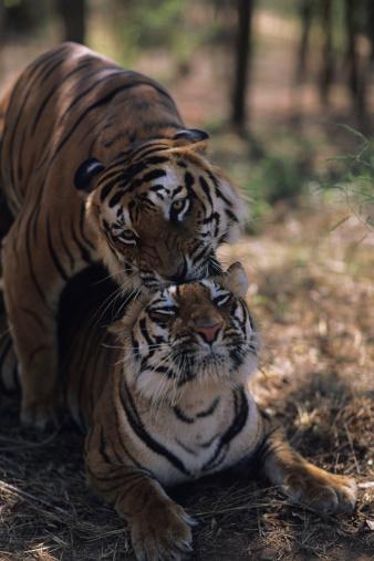 Rajasthan「Two tigers (Panthera tigris) mating, Rajasthan, India」:スマホ壁紙(8)