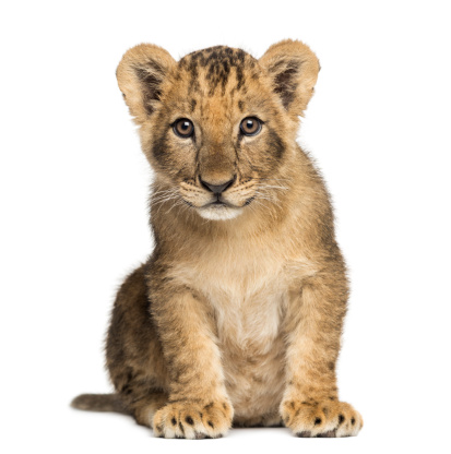 Animal Whisker「Lion cub sitting, looking at the camera」:スマホ壁紙(0)