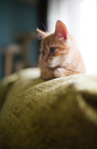 Kitten「Kitten lying on backrest of couch」:スマホ壁紙(3)