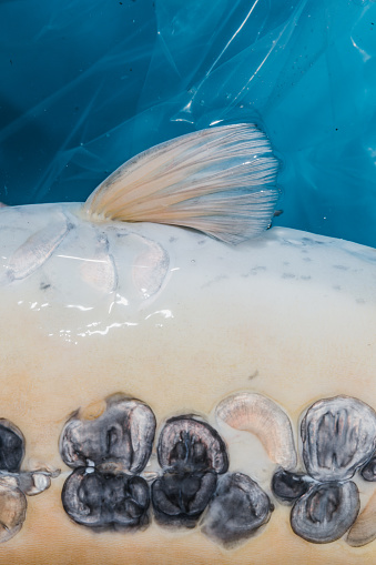 Carp「Body of a Koi Carp seen from a close up perspective, Oxfordshire, England, United Kingdom」:スマホ壁紙(2)