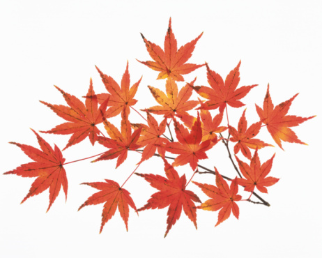 紅葉「Maple of Colored Leaves」:スマホ壁紙(5)