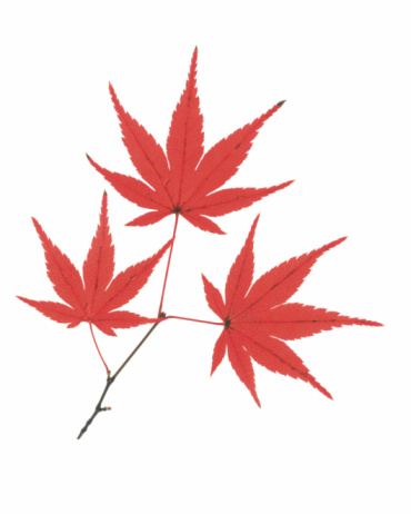 紅葉「Maple of Colored Leaves」:スマホ壁紙(6)