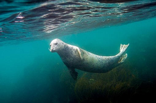 Females「A female Grey Seal below the surface」:スマホ壁紙(1)