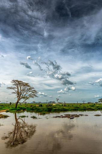 カバ「アフリカアカシア-Reflection」:スマホ壁紙(6)