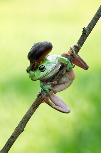 カタツムリ「Snail on a dumpy tree frog, Indonesia」:スマホ壁紙(8)