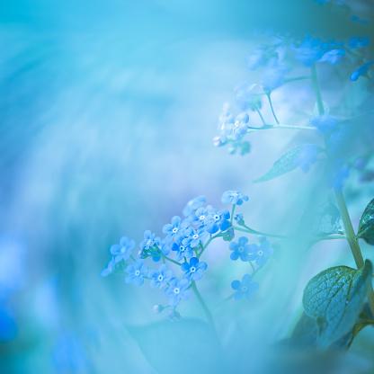 Wildflower「Froget me not.」:スマホ壁紙(11)