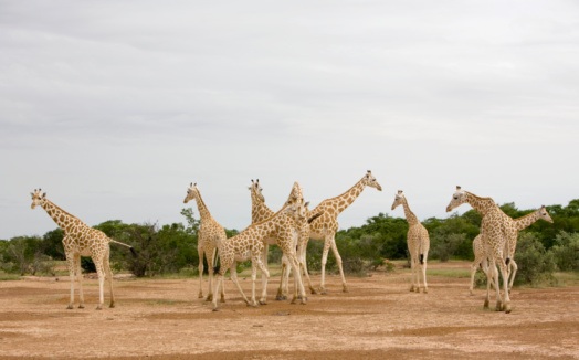 Giraffe「Niger, North of Naimey, group of giraffes standing on dry ground」:スマホ壁紙(4)