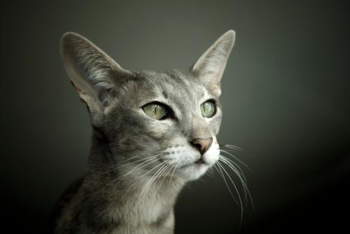 Animal Whisker「Oriental Shorthair Cat」:スマホ壁紙(18)