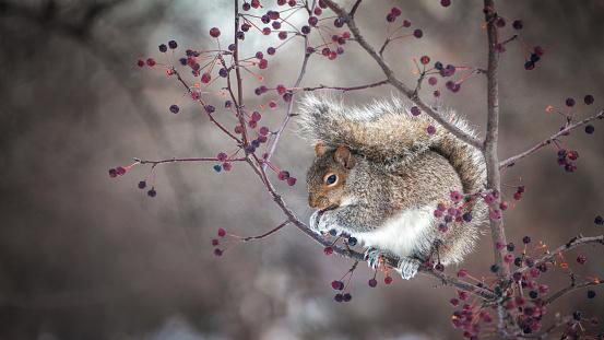 Gray Squirrel「Écureuil gris, (Sciurus carolinensis), Eastern gray squirrel.」:スマホ壁紙(12)