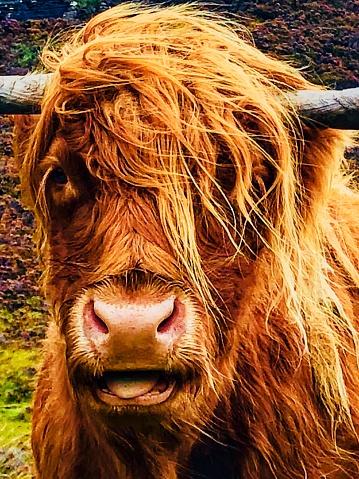 Long Hair「Scotland   Highland Cow   Messy hair」:スマホ壁紙(2)