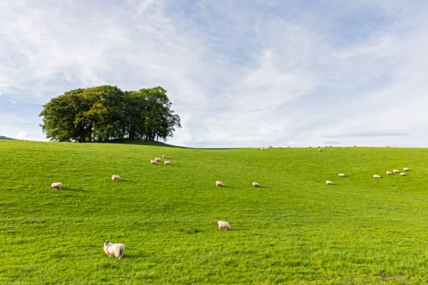UK, Scotland, Highland, flock of sheep grazing on meadow:スマホ壁紙(壁紙.com)