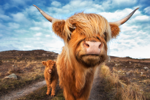 Horned「UK, Scotland, Highland cattle with with calf at Laide」:スマホ壁紙(12)