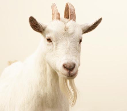 Goat「Pygmy goat」:スマホ壁紙(3)