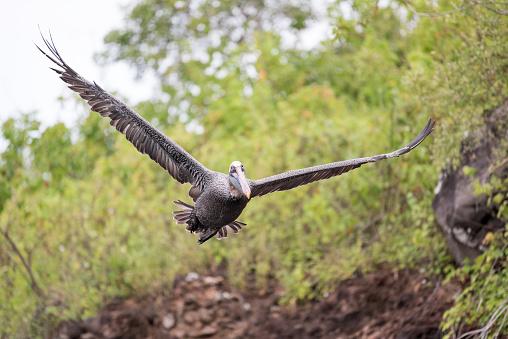 ガラパゴス諸島「ペリカン飛んで、広がりの翼、ガラパゴス諸島、エクアドル」:スマホ壁紙(4)