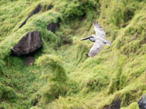 ガラパゴス諸島「ペリカン飛んで、広がりの翼、ガラパゴス諸島、エクアドル」:スマホ壁紙(12)