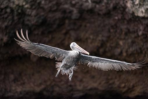 ガラパゴス諸島「ペリカン飛んで、広がりの翼、ガラパゴス諸島、エクアドル」:スマホ壁紙(1)