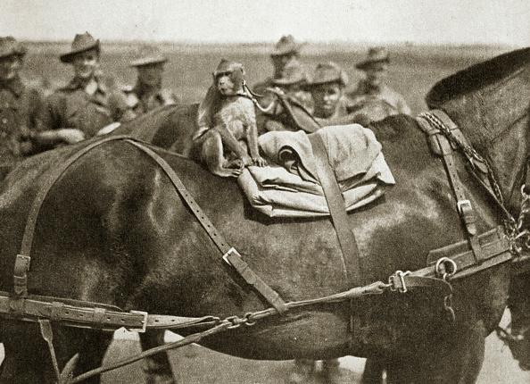 キャラクター「The Mascot Of The Anzacs Somme Campaign France World War I 1916」:写真・画像(11)[壁紙.com]