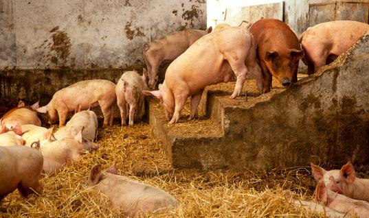 Danish Culture「Romantic Dirty Pig stable+」:スマホ壁紙(13)