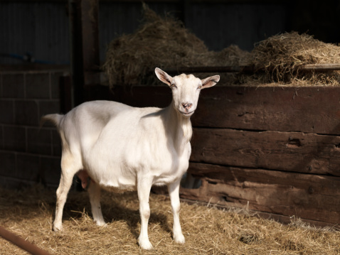 Nanny Goat「Nanny goat portrait」:スマホ壁紙(6)