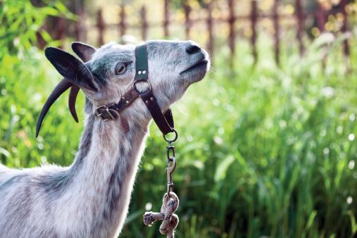 Nanny Goat「Nanny goat」:スマホ壁紙(16)
