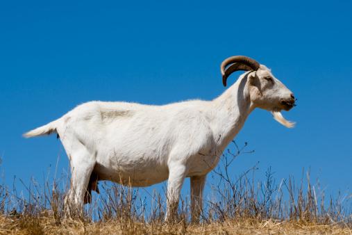 Nanny Goat「nanny goat」:スマホ壁紙(7)