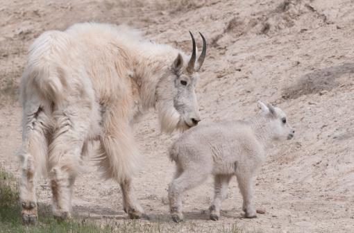 Nanny Goat「Nanny Goat and Kid (Oreamnos americanus)」:スマホ壁紙(17)