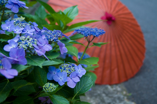 あじさい「Japanese Umbrella and Hydrangea」:スマホ壁紙(12)
