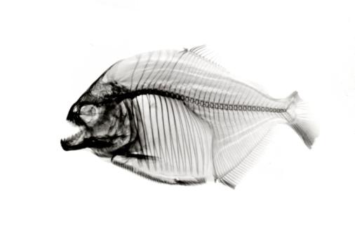 Animal Skeleton「Piranha  x-ray on white」:スマホ壁紙(15)