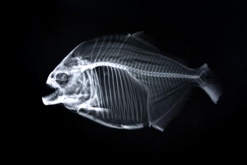 Animal Skeleton「Piranha x-ray of animal skeleton」:スマホ壁紙(5)