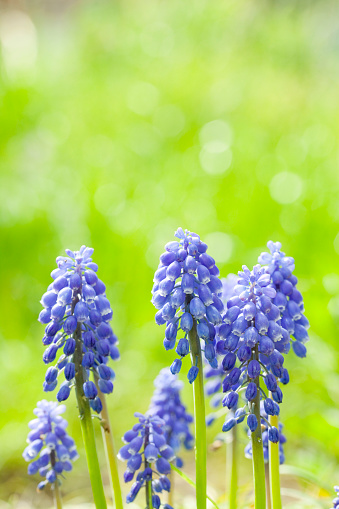 Grape Hyacinth「Muscari Flower」:スマホ壁紙(8)