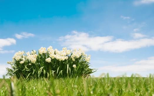 水仙「春の風景」:スマホ壁紙(18)