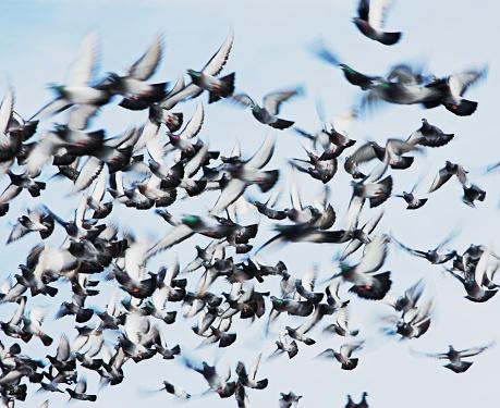 Flock Of Birds「Flock of Pigeons in Flight」:スマホ壁紙(11)