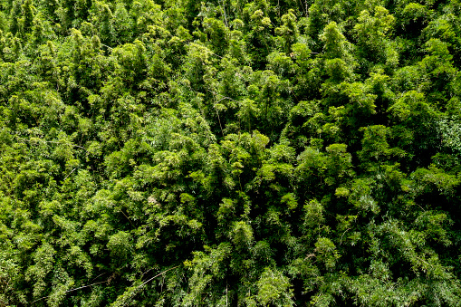 Lush Foliage「USA, Hawaii, Maui, Northwest Coast, Bamboo forest」:スマホ壁紙(8)