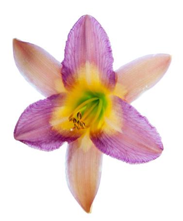 Flower Stigma「Daylily ?Nile Crane? (Hemerocallis)」:スマホ壁紙(16)