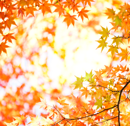 Japanese Maple「Bright Fall Foliage」:スマホ壁紙(9)