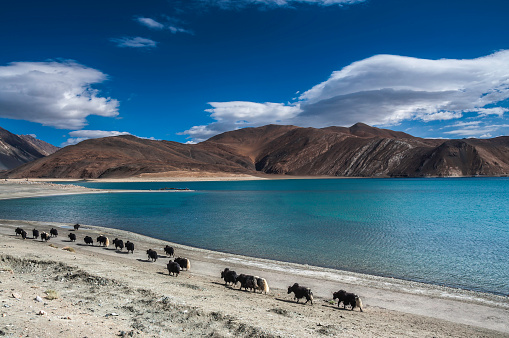 Yak「Yak Caravan Near Bank of Pangong Tso, Ladakh, India」:スマホ壁紙(11)