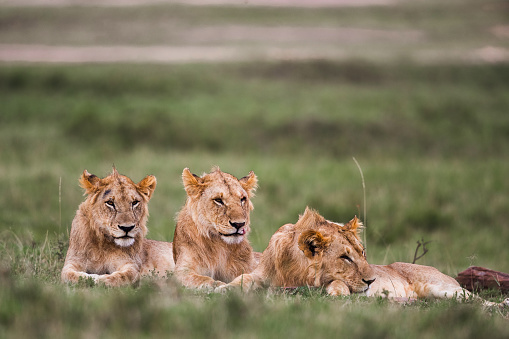 Teenager「Group of teenage lions relaxing in grass.」:スマホ壁紙(19)