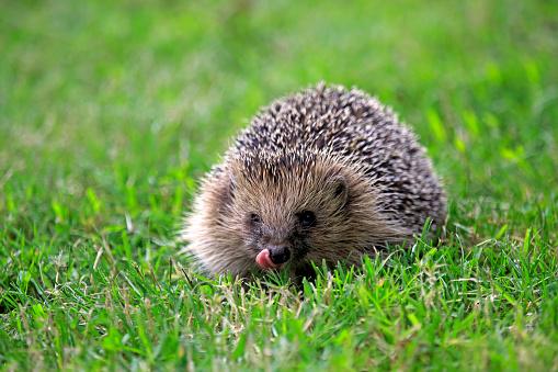 Western hedgehog:スマホ壁紙(壁紙.com)