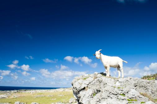 海を見つめるヤギのまとめ:2008年06月21日(壁紙.com)