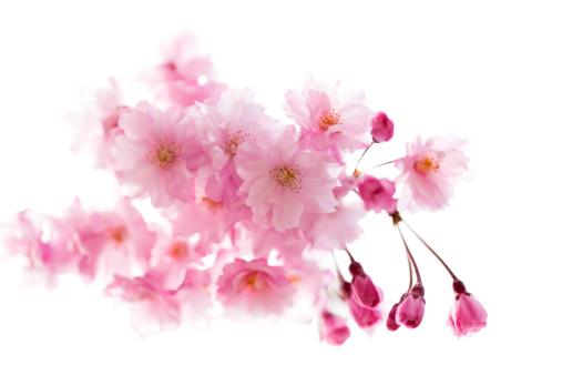 ピンクの桜:スマホ壁紙(壁紙.com)