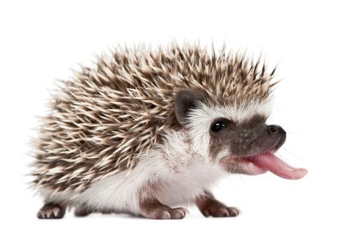 Four-toed Hedgehog - Atelerix albiventris (3 weeks:スマホ壁紙(壁紙.com)