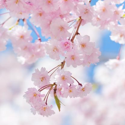 日本の桜の木の花-Ⅷ:スマホ壁紙(壁紙.com)