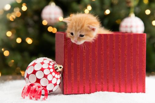 Kitten in red box at Christmas:スマホ壁紙(壁紙.com)