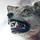 狼壁紙の画像(壁紙.com)
