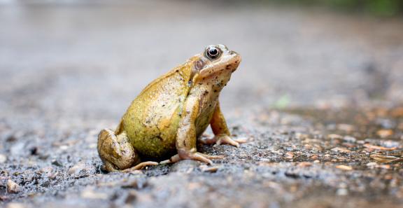 Frog「Frog, close up」:スマホ壁紙(9)