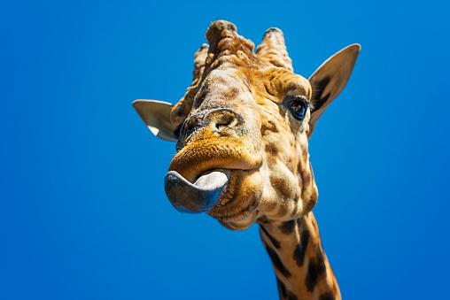 Making A Face「Portrait of a giraffe sticking out its tongue」:スマホ壁紙(0)