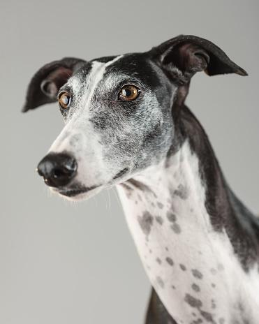 Animal Ear「Portrait of a greyhound dog」:スマホ壁紙(15)